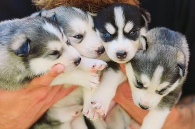 Dog Breeders USA Siberian Husky Litter
