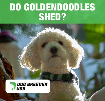 How Much Do Goldendoodles Shed