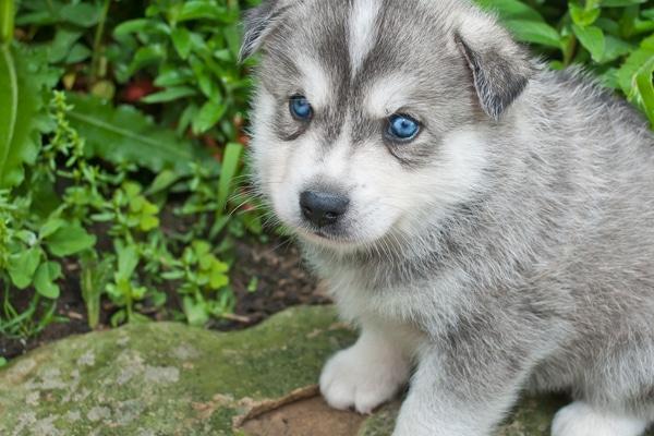 Huskimo Puppy With Very Blue Eyes